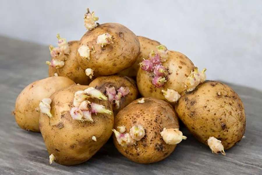 Rezept Sind gekeimte Kartoffeln giftig?
