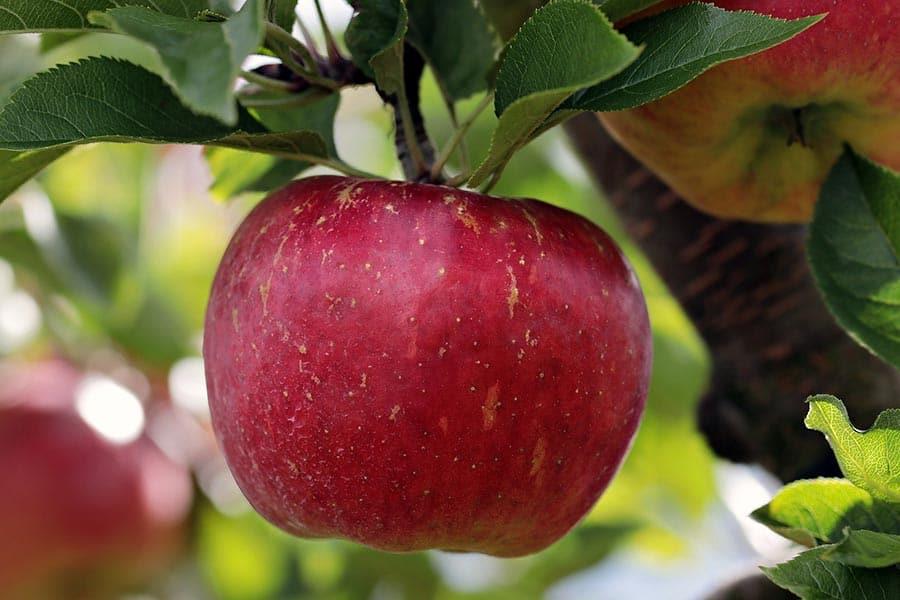 Rezept Apfel