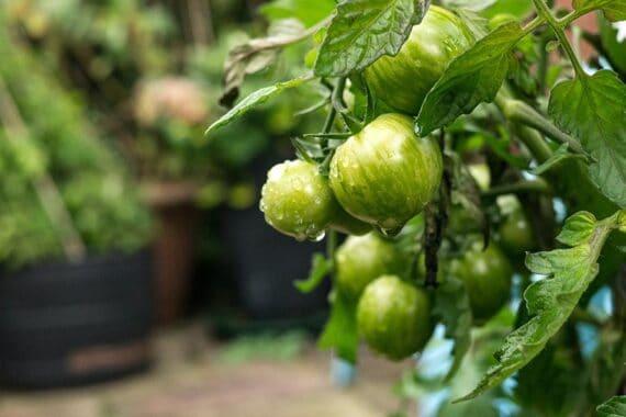 Kann man grüne Tomaten essen?